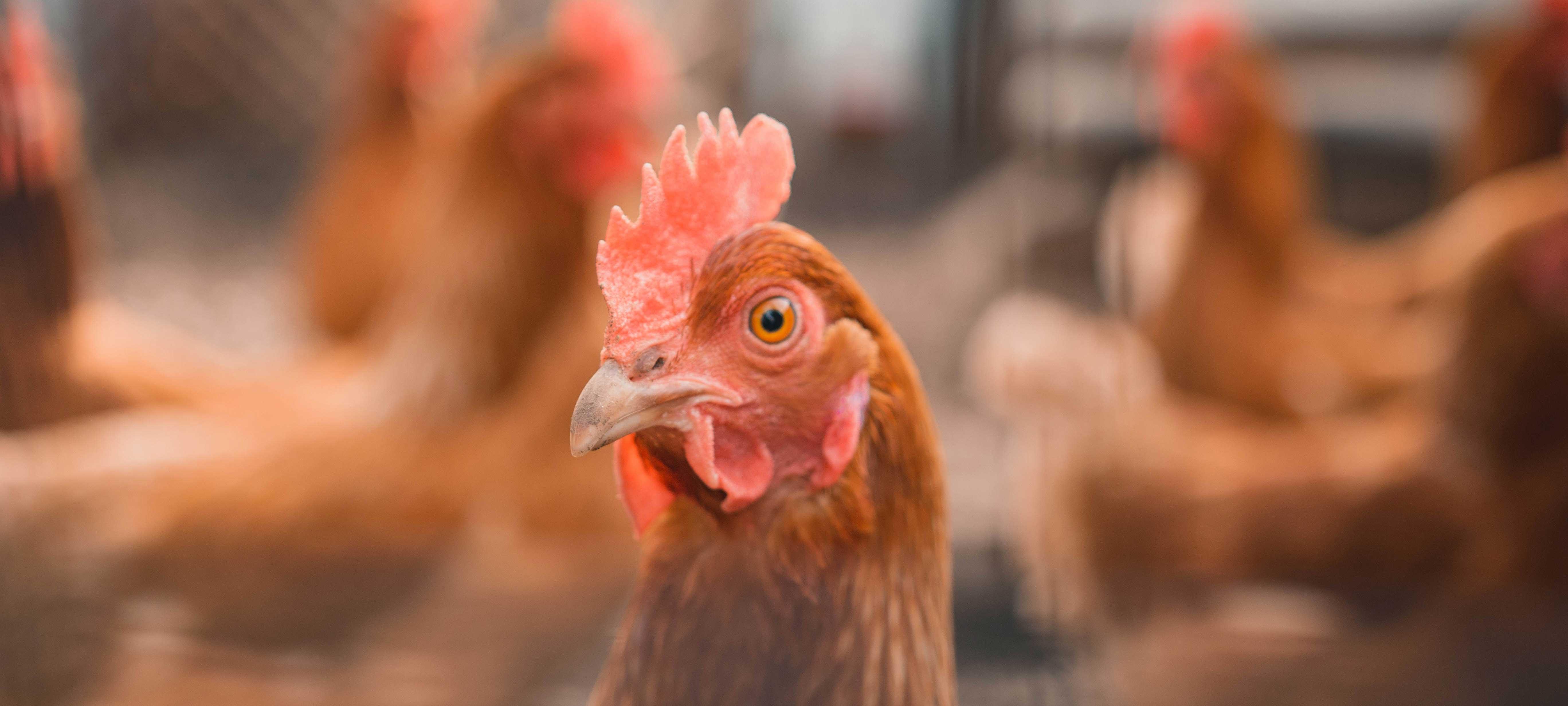 Eén op de vijf Britten denkt dat eieren vegan zijn