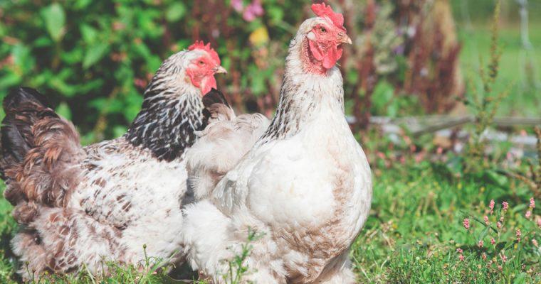 De doehetzelfkip: van ei tot kipfilet in 9 weken