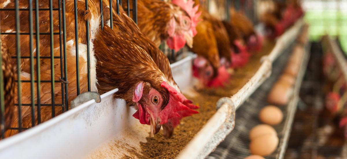'Nederlander eet onbewust nog veel legbatterij-eieren'