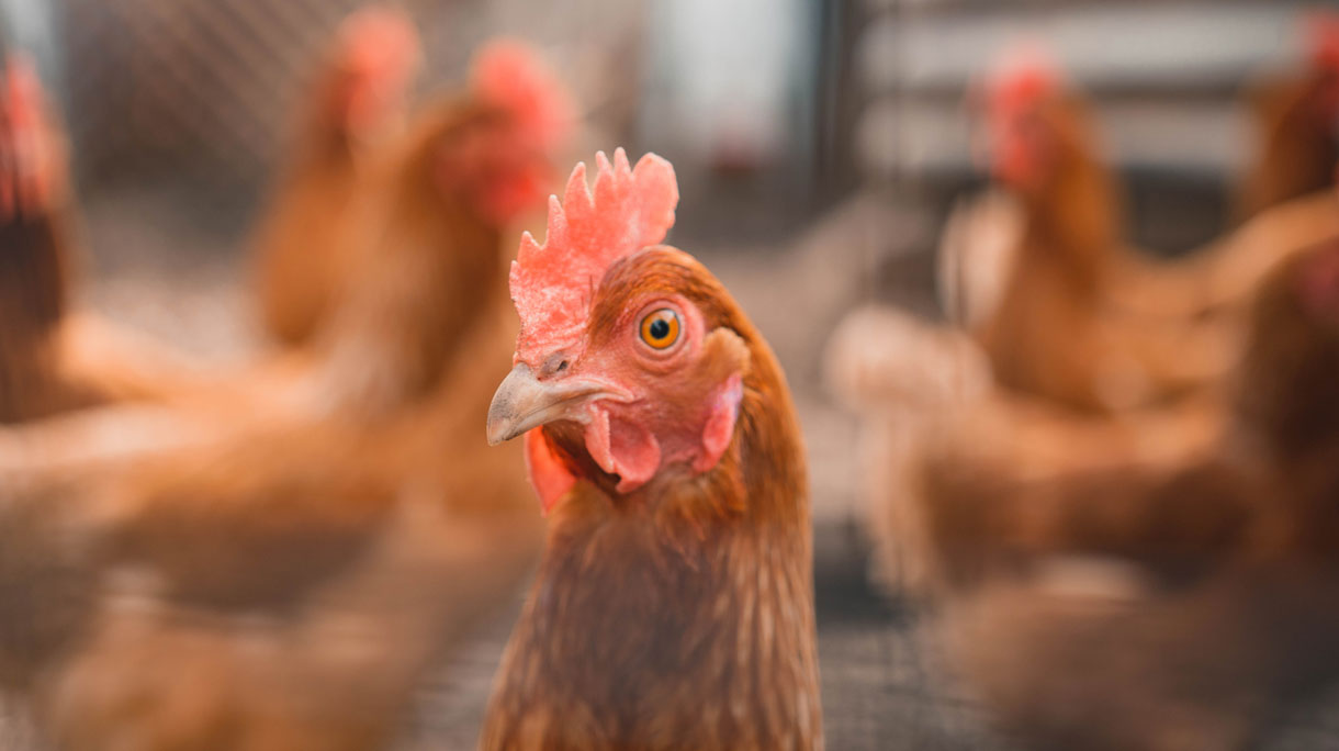 Ophokplicht kippen vanwege dreiging vogelgriep